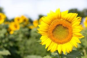 sunflowers-554103_1920